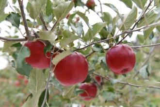 백천마을 고냉지 사과