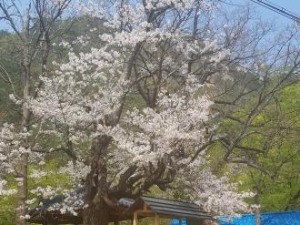 사과나무집의 산벚꽃