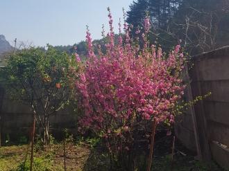 매화나무 꽃